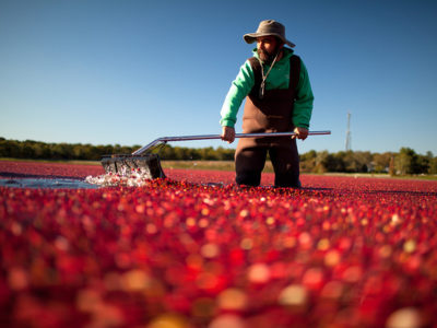 farmer in cranberry patch